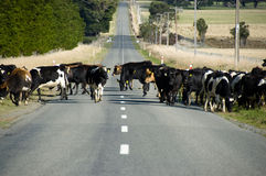 Cows Crossing Road royalty free stock photos