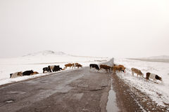 Cows crossing road Mongolia Stock Photos