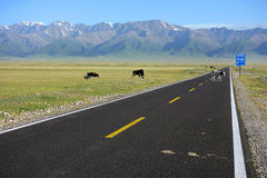 Cows crossing the straight road. Located in Salimu lake,Xinjiang,China Stock Image