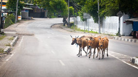 Cows crossing a street. In flores, indonesia Royalty Free Stock Image