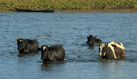 Cows Crossing the Water Stock Images