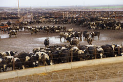 Cows crowded in a muddy feedlot Royalty Free Stock Photos