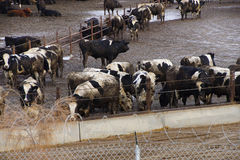 Cows crowded in a muddy feedlot Stock Photo