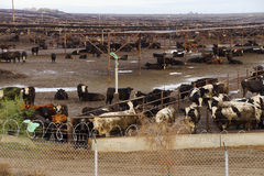Cows crowded in a muddy feedlot Stock Images