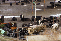 Cows crowded in a muddy feedlot Stock Image