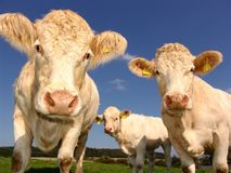 Cows, Curious, Cattle, Agriculture Royalty Free Stock Photos