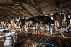 Cows in a dairy farm. Back side of the cows in a dairy farm at Thailand royalty free stock images