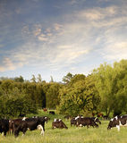 Cows. Dairy cows in paddock, New Zealand Royalty Free Stock Photo
