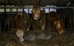 Cows dairy production farm milk Royalty Free Stock Photography