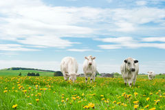 Cows in dandelions royalty free stock photos