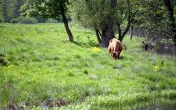 cows danish Стоковое фото RF