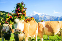 Cows Decorated For The Aelplerfest Stock Photo