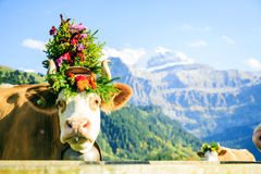 Cows Decorated For The Aelplerfest Royalty Free Stock Images