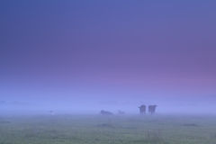 Cows in dense fog on morning pasture Royalty Free Stock Photo