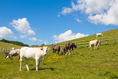 Cows of Different Colours Lying on a Green Grassy Field Stock Photos