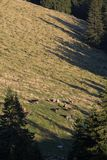 Cows at the distance. Forest, green plan and herd of cows at the distance Stock Images