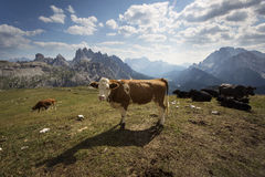 Cows in Dolomites Mountains Royalty Free Stock Photography