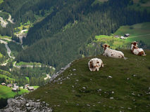 Cows in The Dolomites Royalty Free Stock Photos