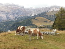 Cows in Dolomiti mountains Royalty Free Stock Photography