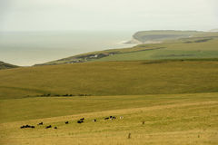 Cows and Downs coast near Eastbourne Stock Photo