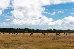 Cows in a dried field Royalty Free Stock Photography