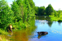 Cows drink water in the river Royalty Free Stock Photography