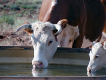 Cows drinking  Royalty Free Stock Photo