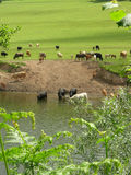 Cows drinking. Herd of cows on the way to have a drink in the river Stock Images