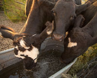 Cows drinking. Closeup view of three cattle drinking from a water tank Royalty Free Stock Images