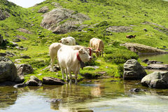 Cows drinking in a mountain lake. White cows drinking in a mountain lake Royalty Free Stock Photos