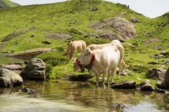 Cows drinking in a mountain lake. White cows drinking in a mountain lake Stock Images