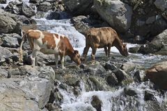 Cows drinking from mountain river Royalty Free Stock Photography