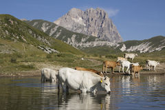 Cows drinking on Pietranzoni lake. Near the Gran Sasso mountain Royalty Free Stock Photo
