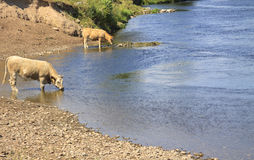 Cows drinking in river. Two cows standing in a river having a drink on a hot summer's day Stock Photography