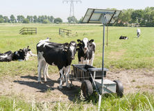 Cows drinking. With sun energy pannels for heating Stock Images