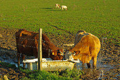 The cows. Cows at the drinking trough in a meadow Stock Photography