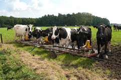 Cows drinking water. Holsteiner cows drinking water at a water reservoir Stock Image