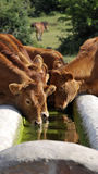 Cows drinking water in a drinking trough Royalty Free Stock Image