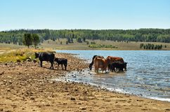 Cows are drinking water from the lake. In Colorado USA Royalty Free Stock Images
