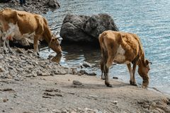 Cows drinking water in the river. Space for text Royalty Free Stock Images
