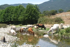Cows drinking water on river Rizzanese at  Sartene. Corsica Royalty Free Stock Image