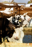 Cows drinking water. Cows on a watering place Stock Images