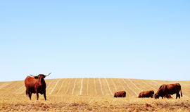 Cows in dry field Stock Image