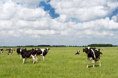 Cows in Dutch flat landscape Stock Photo