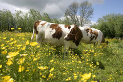 Cows in dutch landscape 2. Cows in dutch landscape standing in flowers Royalty Free Stock Image