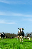 Cows in Dutch landscape Stock Images