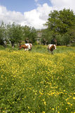 Cows in dutch landscape 3. Cows in dutch landscape standing in flowers Stock Photography
