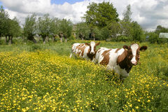 Cows in dutch landscape 5. Cows in dutch landscape standing in flowers Stock Images