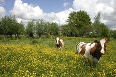 Cows in dutch landscape 6. Cows in dutch landscape standing in flowers Stock Photos