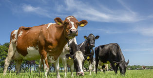 Cows in a dutch landscape Royalty Free Stock Image